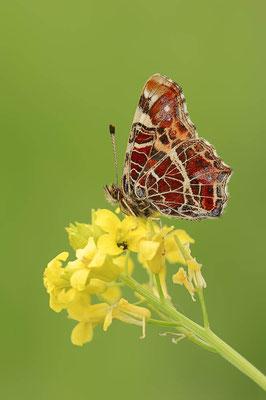 Landkärtchen (Araschnia levana) / ch088934