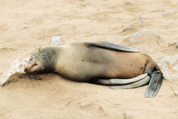 Südafrikanischer Seebär (Arctocephalus pusillus pusillus) / chs05200