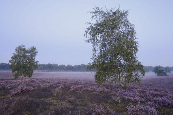 Birken in blühender Heidelandschaft / ch191315