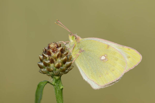 Goldene Acht (Colias hyale) / ch130669
