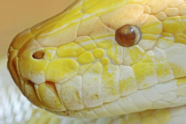 Dunkler Tigerpython, Albino 'Golden Thai Python' / (Python molurus bivittatus) / ch021353