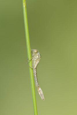 Gemeine Weidenjungfer (Lestes viridis, Chalcolestes viridis) / ch138115