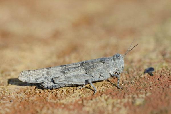 Blauflügelige Sandschrecke (Sphingonotus caerulans) / ch163742