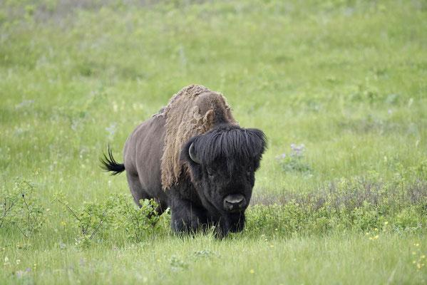 Amerikanischer Bison (Bison bison) / ch160073