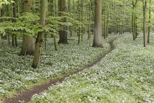 Bärlauch (Allium ursinum) im Laubwald, Nordrhein-Westfalen / ch144287