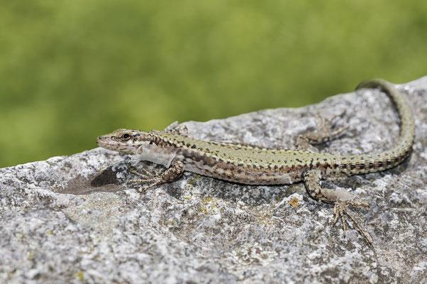 Spanische Mauereidechse (Podarcis hispanicus) / ch179815