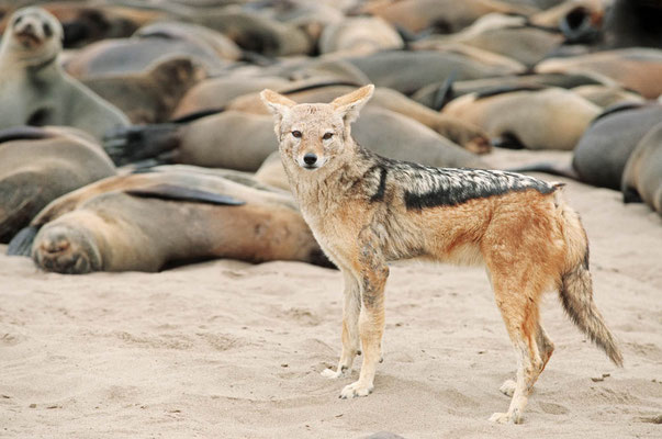 Schabrackenschakal (Canis mesomelas), Südafrikanischer Seebär (Arctocephalus pusillus pusillus) / chs05210