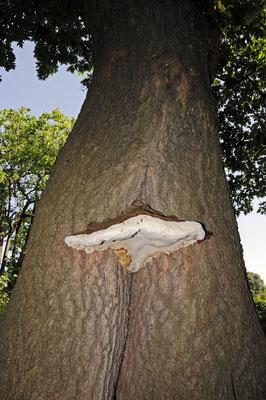 Wulstiger Lackporling (Ganoderma adspersum) / ch026775