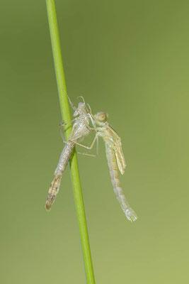 Gemeine Weidenjungfer (Lestes viridis, Chalcolestes viridis) / ch138203