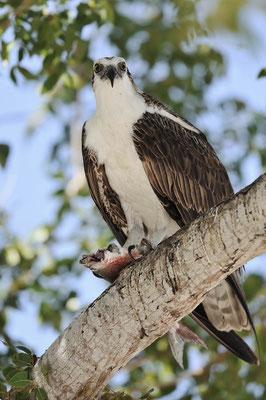 Fischadler (Pandion haliaetus) / ch066842