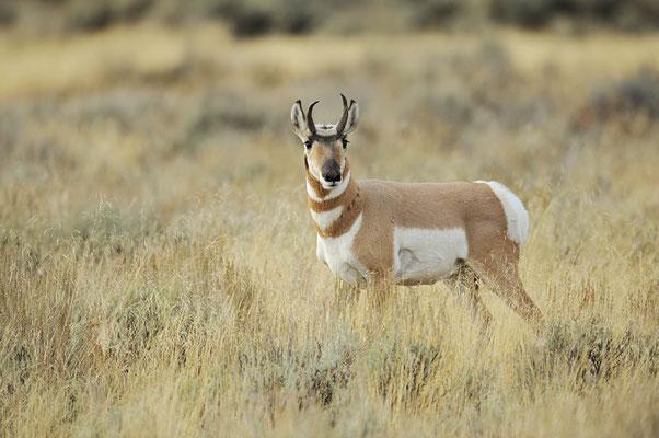 Gabelbock (Antilocapra americana) / ch057398