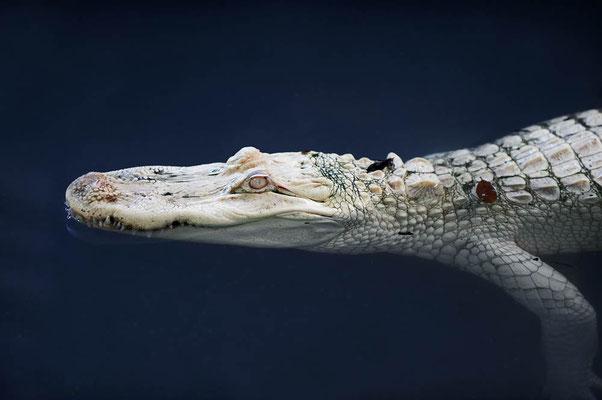 Mississippi-Alligator, Albino  (Alligator mississippiensis) / ch063634