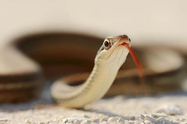 Florida-Bandnatter (Thamnophis sauritus sackeni) / ch064055