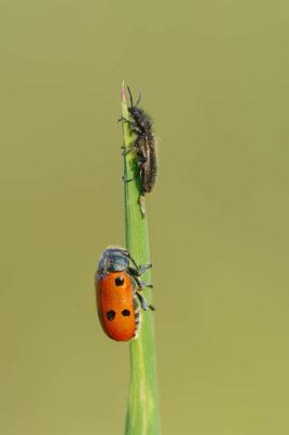 Wollhaarkäfer (Enicopus sp.) und Sackkäfer (Lachnaia sp.) / ch108975