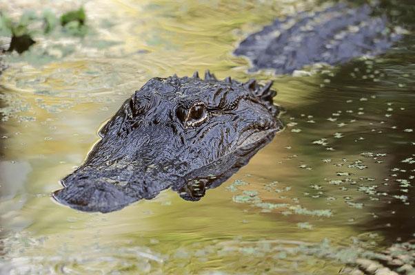 Mississippi-Alligator (Alligator mississippiensis) / ch063760