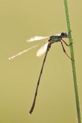 Gemeine Weidenjungfer (Lestes viridis, Chalcolestes viridis) / ch077778