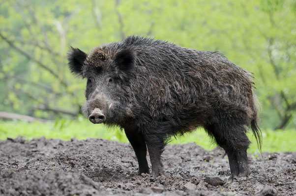 Europäisches Wildschwein (Sus scrofa scrofa) / ch136800