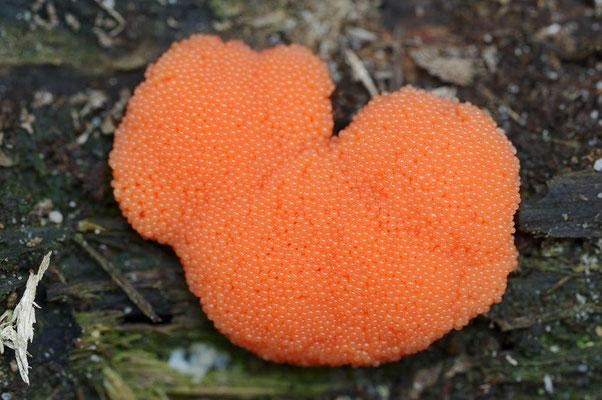 Lachsfarbener Schleimpilz (Tubifera ferruginosa) / ch101646