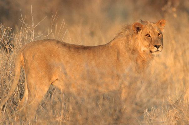Löwe (Panthera leo) / chs05225