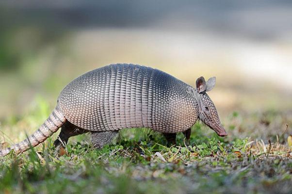 Neunbinden-Gürteltier (Dasypus novemcinctus) / ch064301