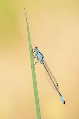 Große Pechlibelle (Ischnura elegans) / ch190866