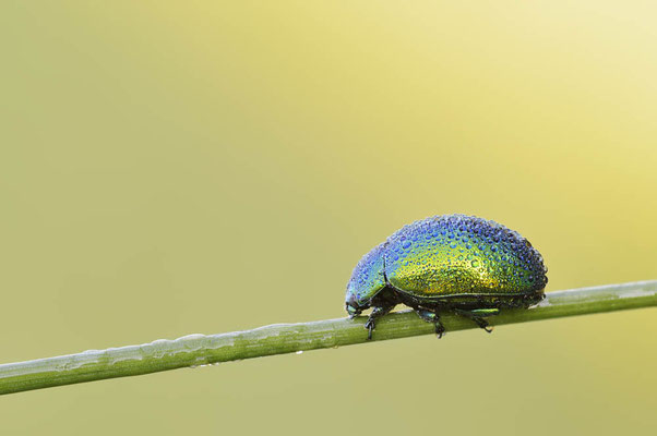 Grüner Sauerampferkäfer oder Ampfer-Blattkäfer (Gastrophysa viridula) / chst0011