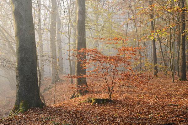 Rotbuche (Fagus sylvatica) im Herbst, Nordrhein-Westfalen / ch196906
