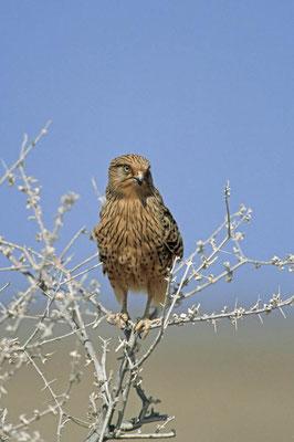 Steppenfalke (Falco rupicoloides) / chs05059