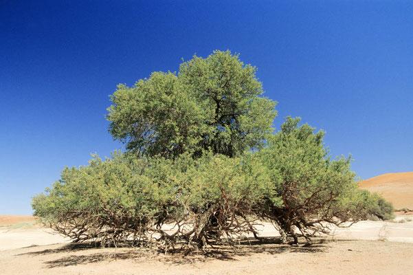 Kameldornbaum (Acacia erioloba) / chs05488