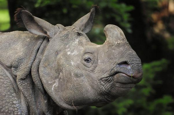 Panzernashorn (Rhinoceros unicornis) / ch037086