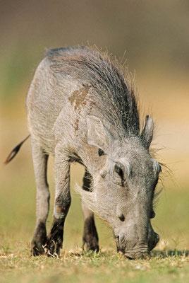 Warzenschwein (Phacochoerus africanus) / chs05253