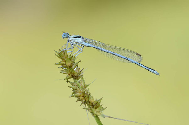 Blaue Federlibelle (Platycnemis pennipes) / ch138311