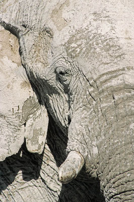Afrikanischer Elefant (Loxodonta africana) / chs05238