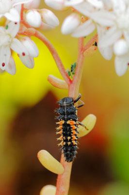 Asiatischer Marienkäfer oder Harlekin-Marienkäfer (Harmonia axyridis) / ch026574