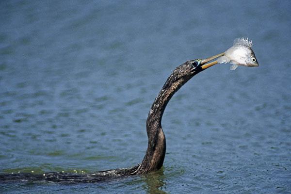 Amerikanischer Schlangenhalsvogel  (Anhinga anhinga) / chs04785