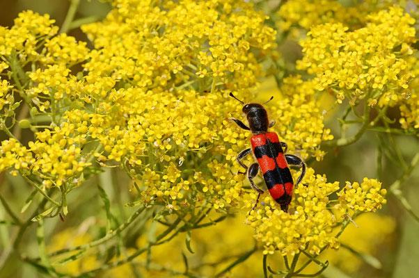 Gemeiner Bienenkäfer (Trichodes apiarius) / ch075050