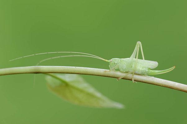 Gemeine Eichenschrecke (Meconema thalassinum) / ch097091