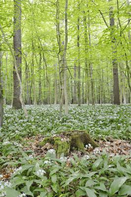 Bärlauch (Allium ursinum) im Laubwald, Nordrhein-Westfalen / ch144387