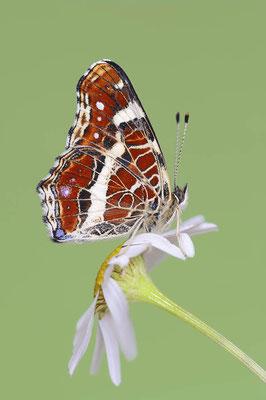 Landkärtchen (Araschnia levana) / ch117756