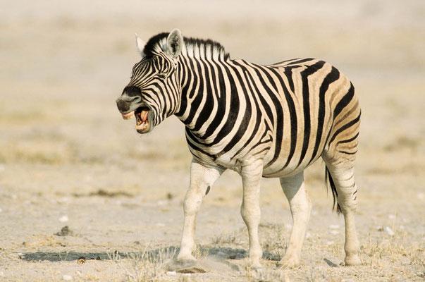 Burchell-Zebra (Equus quagga burchelli) / chs05109