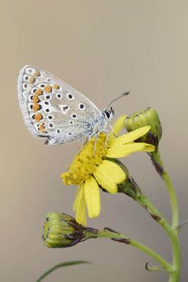 Hauhechel-Bläuling (Polyommatus icarus) / ch140554