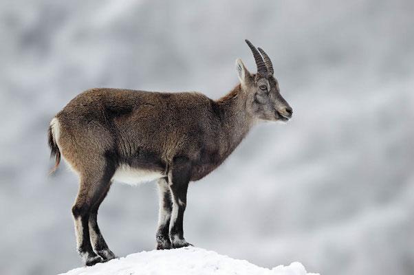 Alpensteinbock (Capra ibex) / ch104487