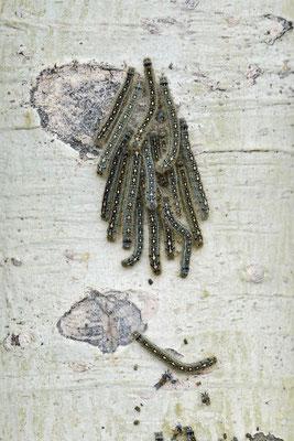 Ringelspinner, Raupen an Baumstamm  (Malacosoma disstria) / ch159243