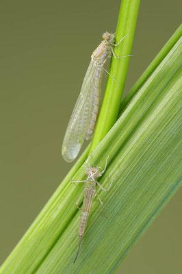 Große Pechlibelle (Ischnura elegans) / ch089394