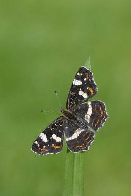 Landkärtchen der Sommergeneration (Araschnia levana f. prorsa) / ch151537