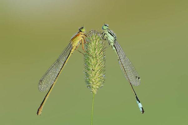 Große Pechlibelle (Ischnura elegans) / ch096237