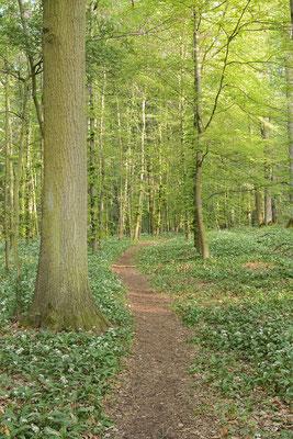 Bärlauch (Allium ursinum) im Laubwald, Nordrhein-Westfalen / ch188032