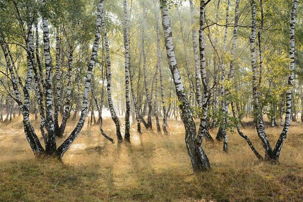 Hängebirken (Betula pendula) in Heidelandschaft bei Sonnenaufgang / ch196677