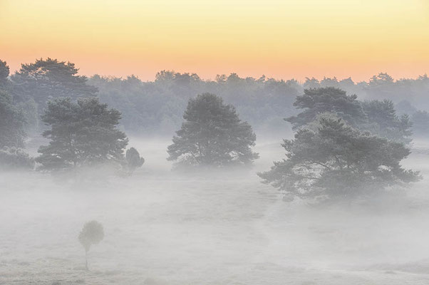 Heidelandschaft mit Kiefern im Morgennebel / chhd0008