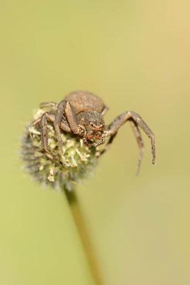 Krabbenspinne (Xysticus spec.) / ch109146
